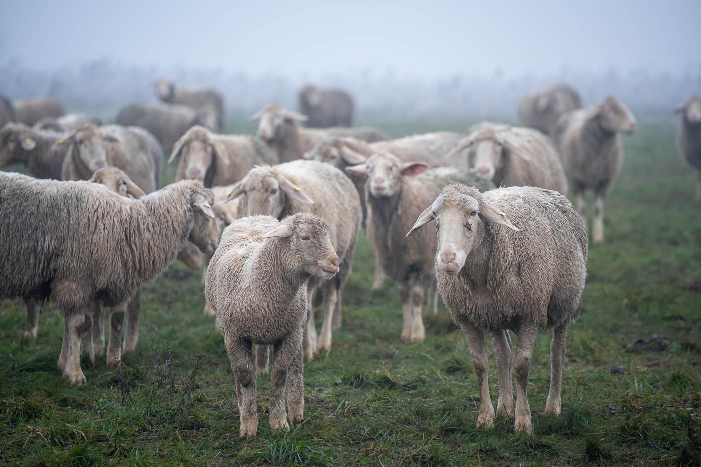 Schafe im Gatter