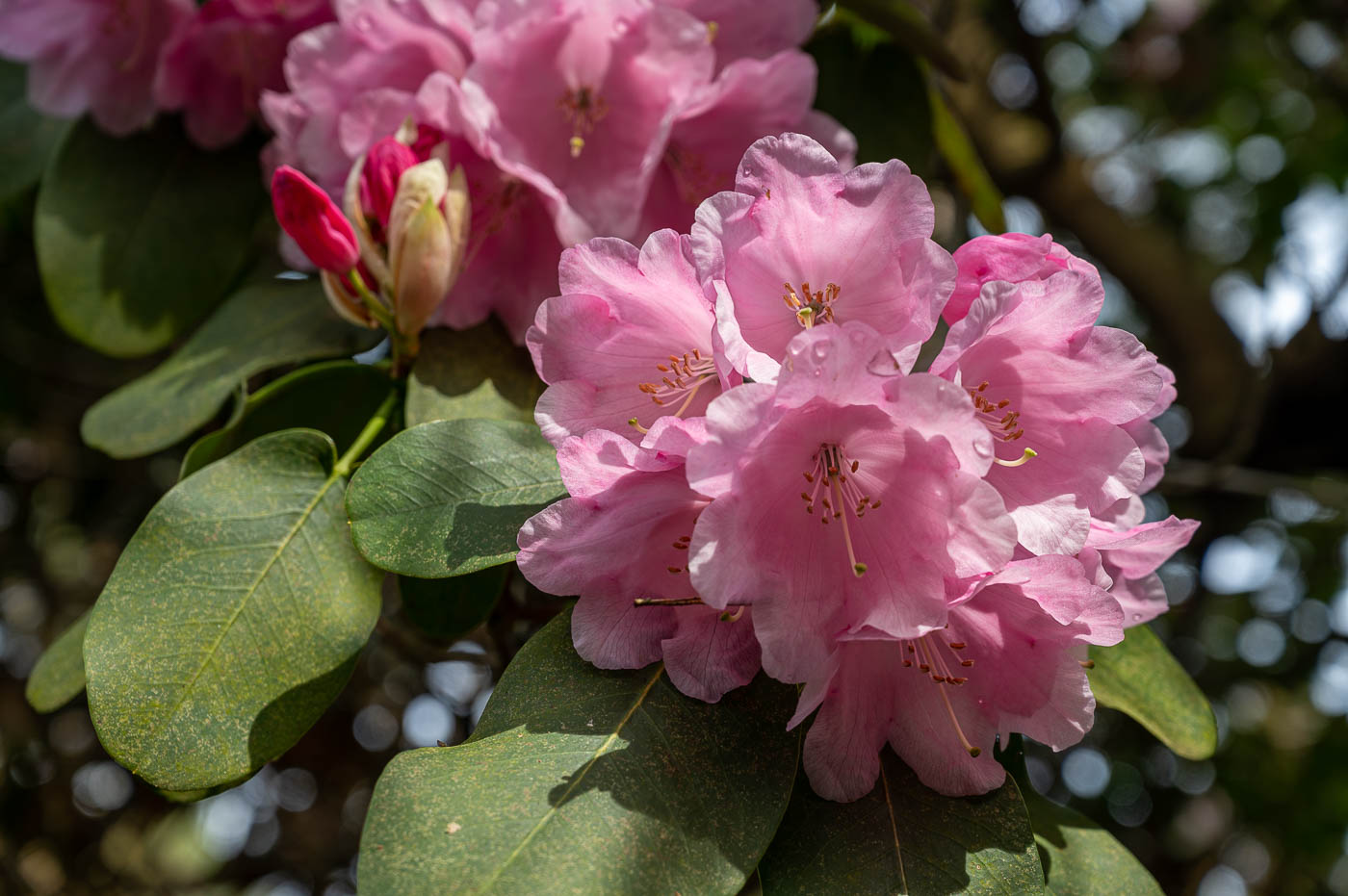 Rhododendronblüte